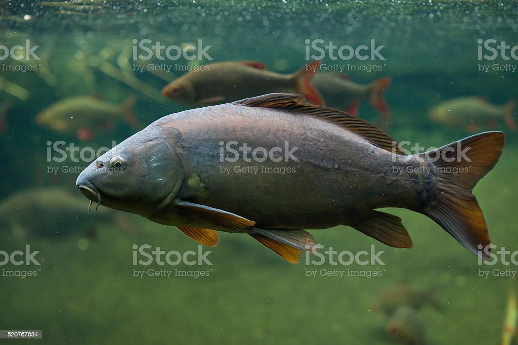 Mirror carp (Cyprinus carpio carpio) stock photo