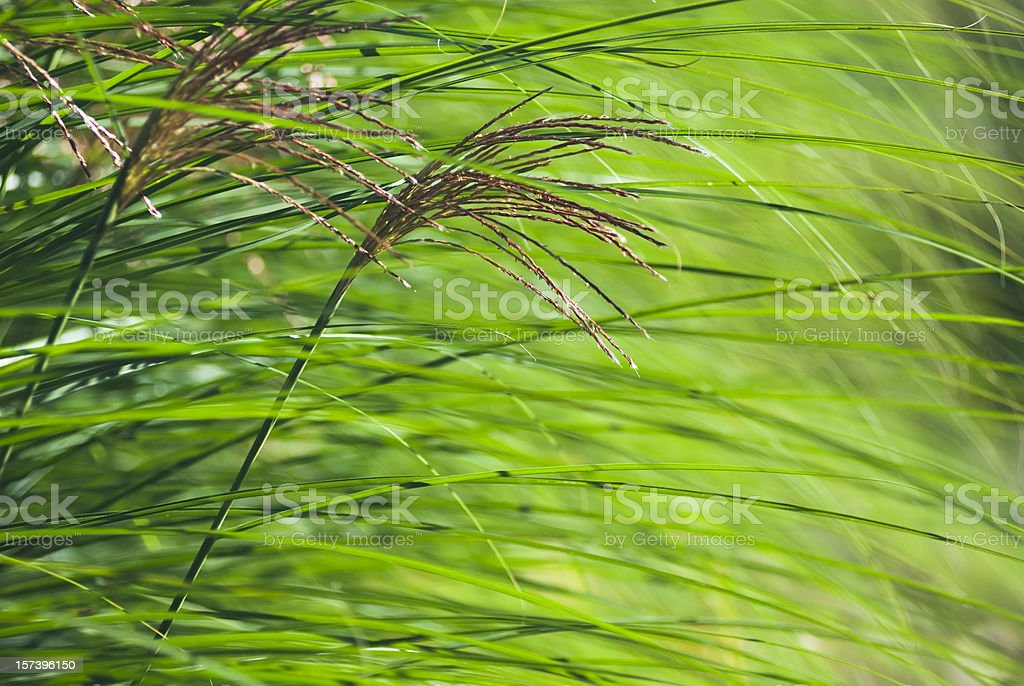 Miscanthus (Maiden) Grass - VII royalty-free stock photo