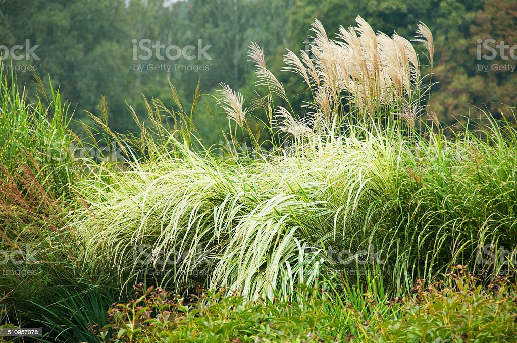 miscanthus, tall grass at landscape stock photo