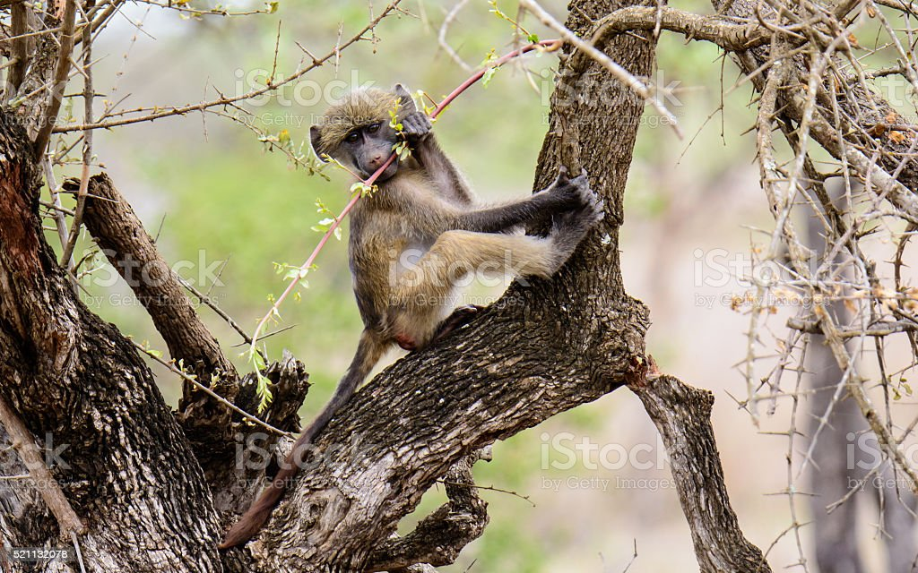 Mischievous baby vervet monkey in a tree stock photo