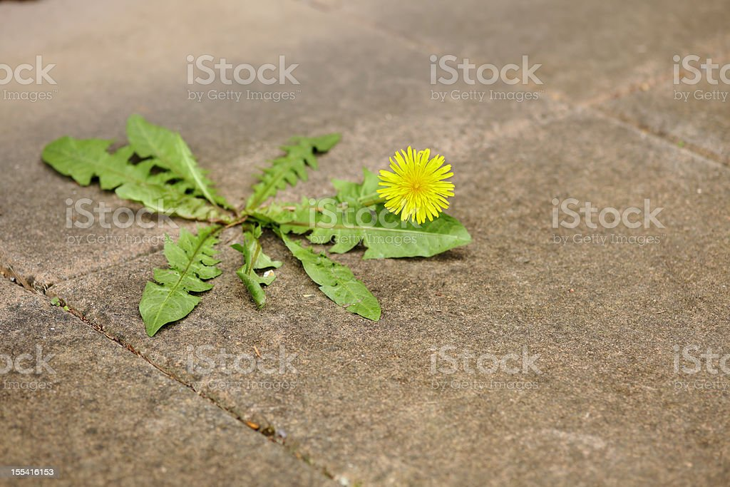 Miserable dandelion in the middle of a pavement. stock photo