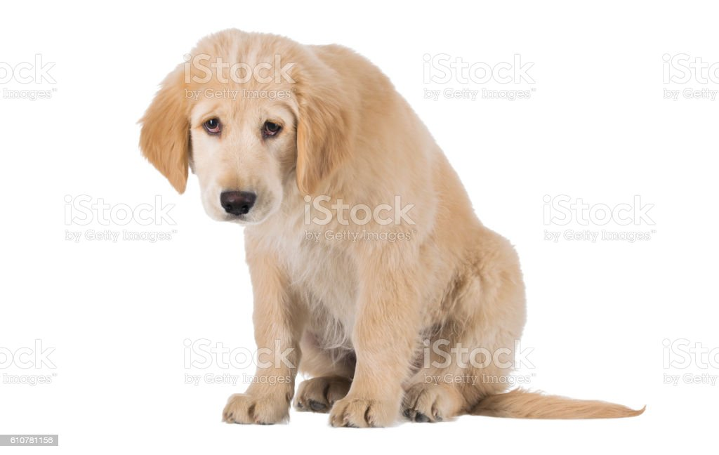 Miserable Golden Retriever puppy sitting front view isolated on stock photo