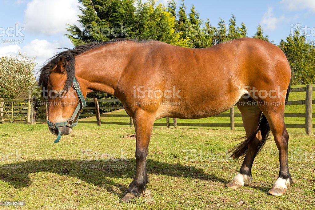 Miserable looking pony with laminiatus a common illness in horses. stock photo