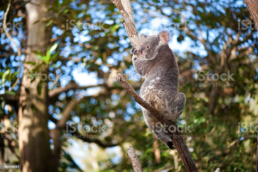 Miss Koala stock photo