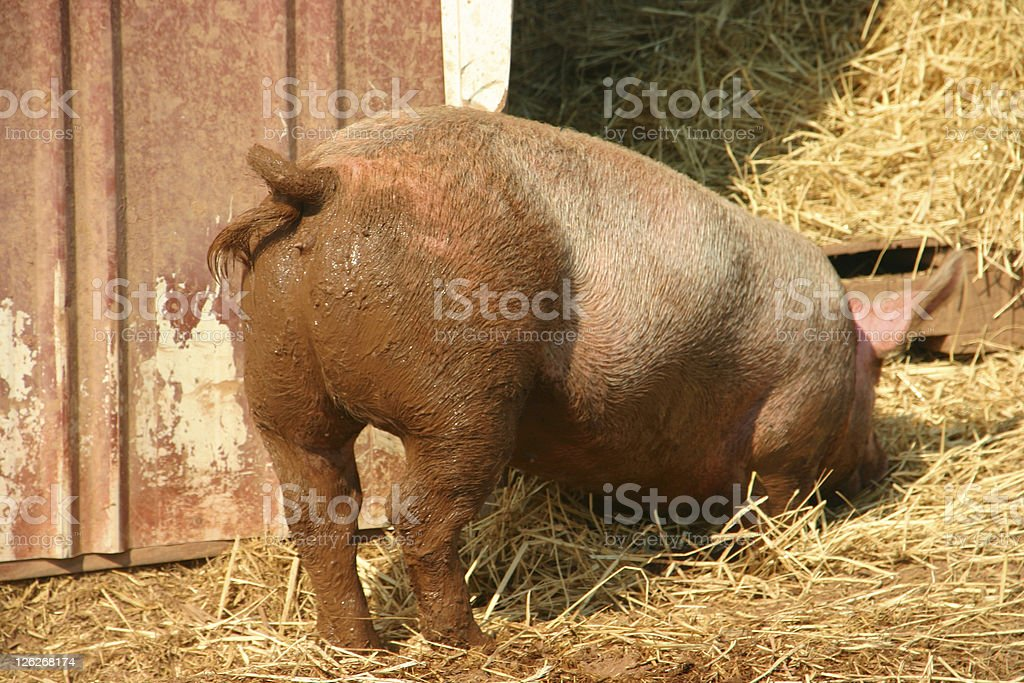 Miss Piggy´s rear end - rear view of a pig stock photo
