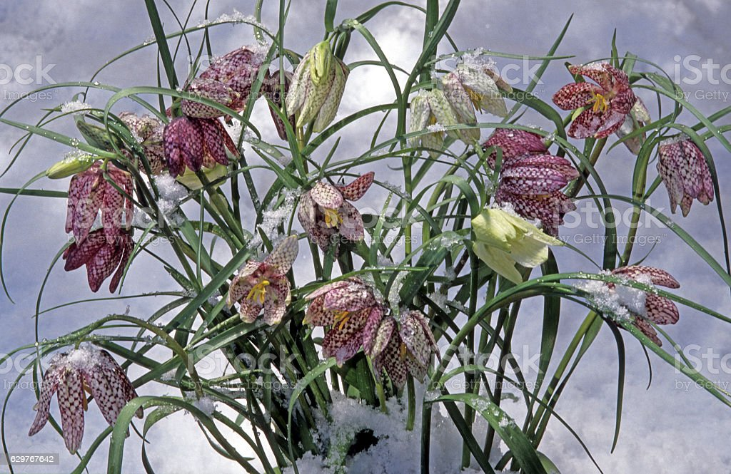 mission bells (Fritillaria meleagris) stock photo