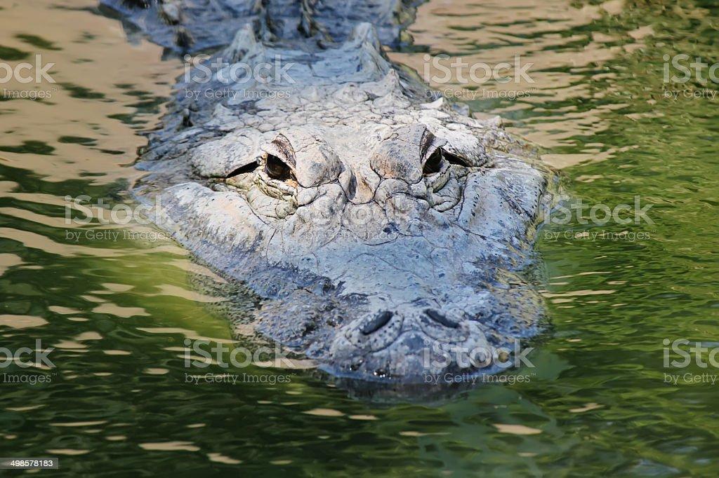 Mississippi Aligator stock photo