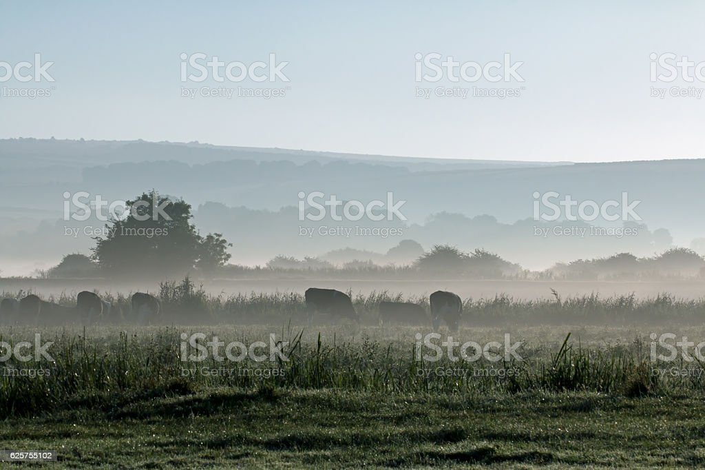 Mist and Cows stock photo