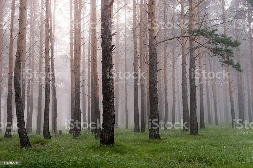 mist in coniferous forest, morning, after rain stock photo