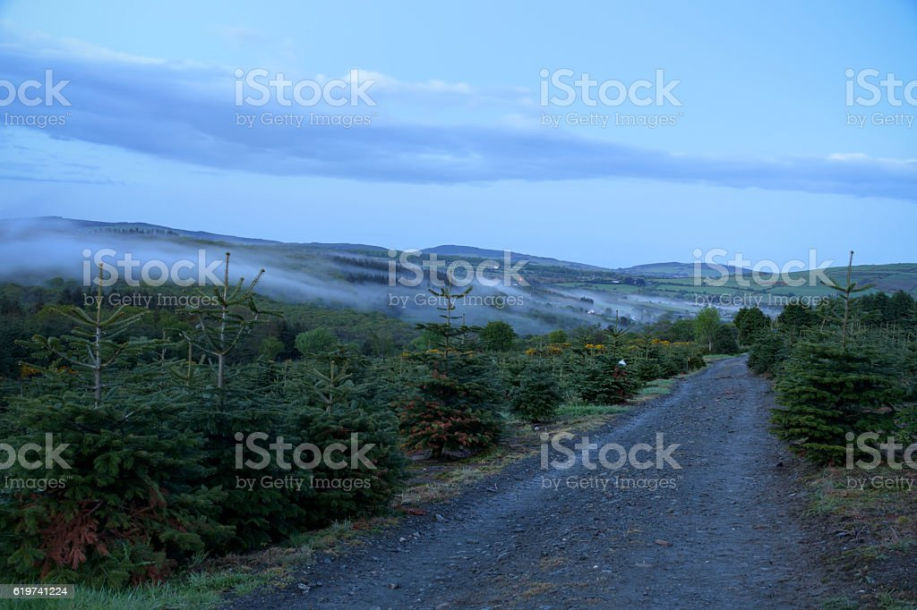Mist shrouded the pine forest plantation during twilight stock photo