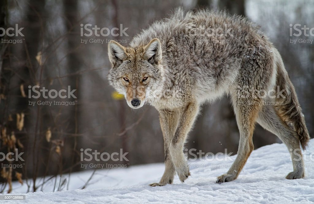 Mister Coyote stock photo
