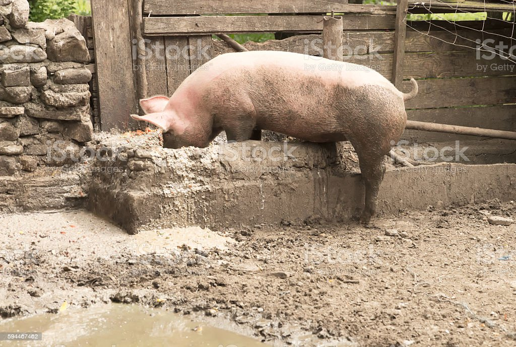 Mister pig has lunch time stock photo