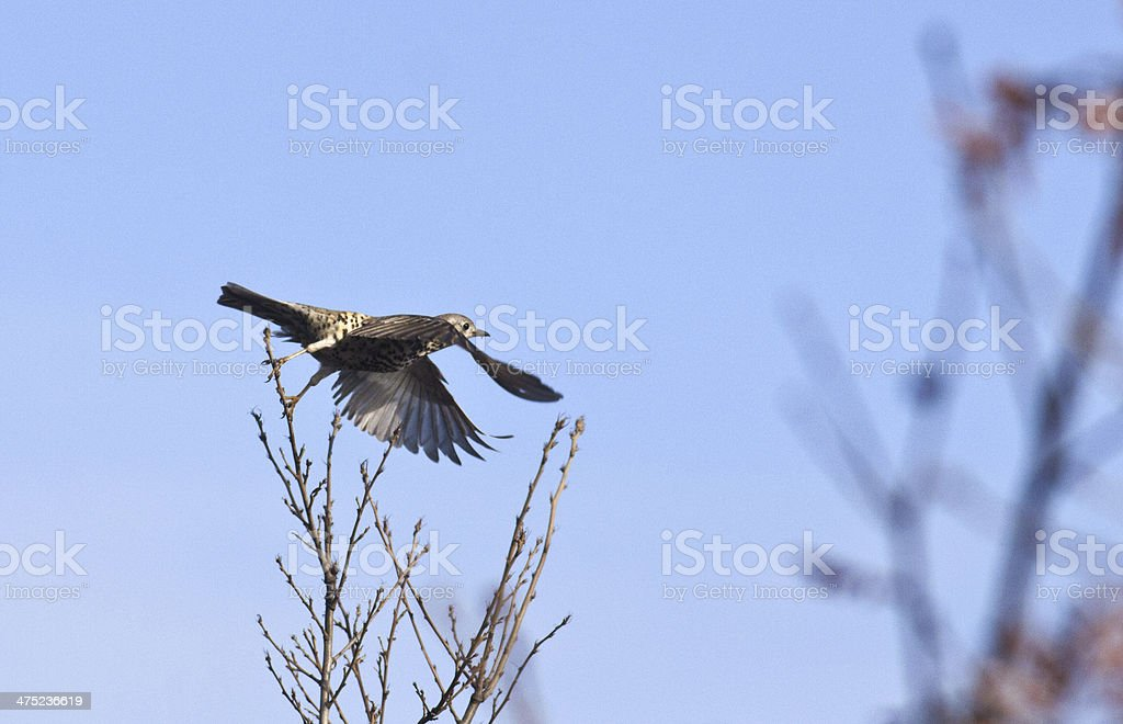 Mistle thrush fly stock photo
