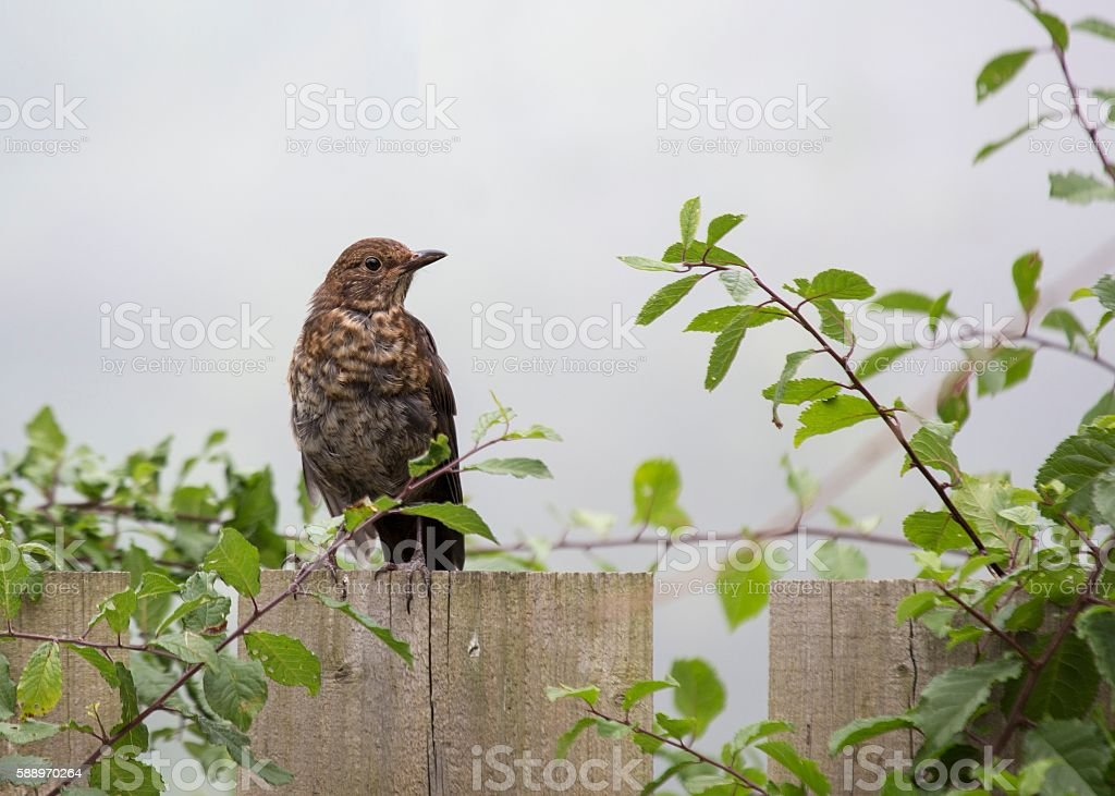 Mistle Thrush (Turdus viscivorus) stock photo