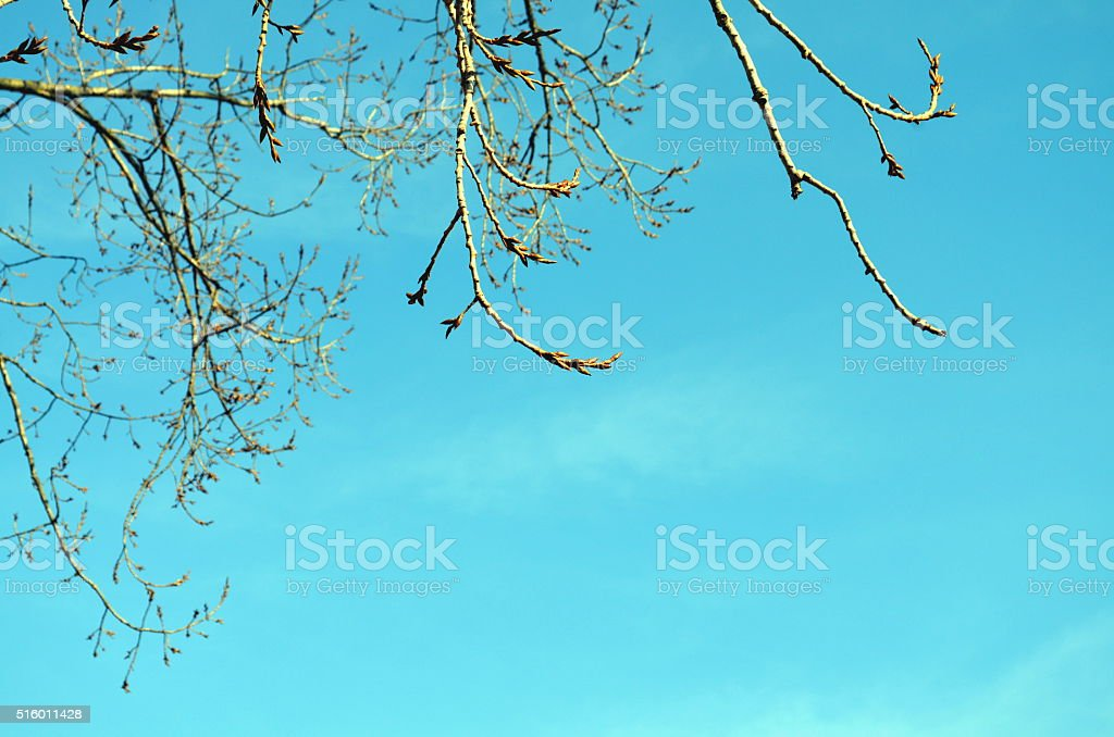 mistle toes on a tree stock photo