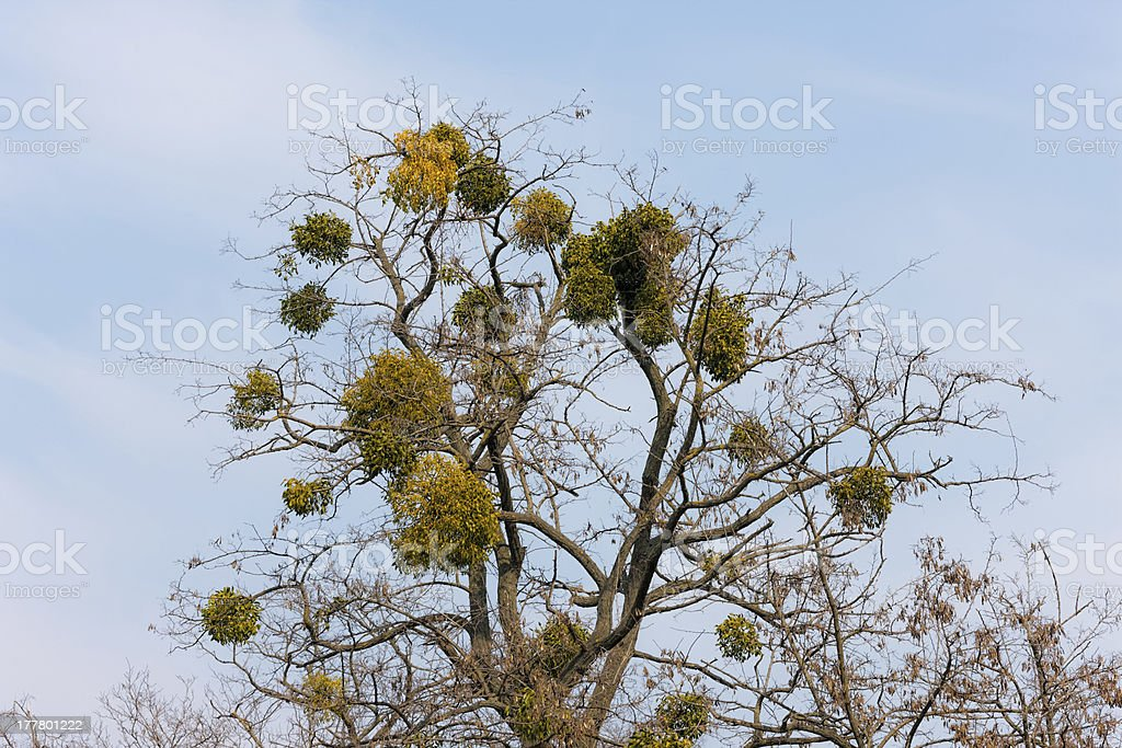 mistletoe against the sky royalty-free stock photo