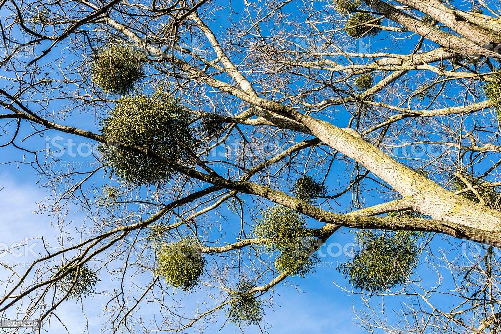 Mistletoe balls growing on a tree stock photo