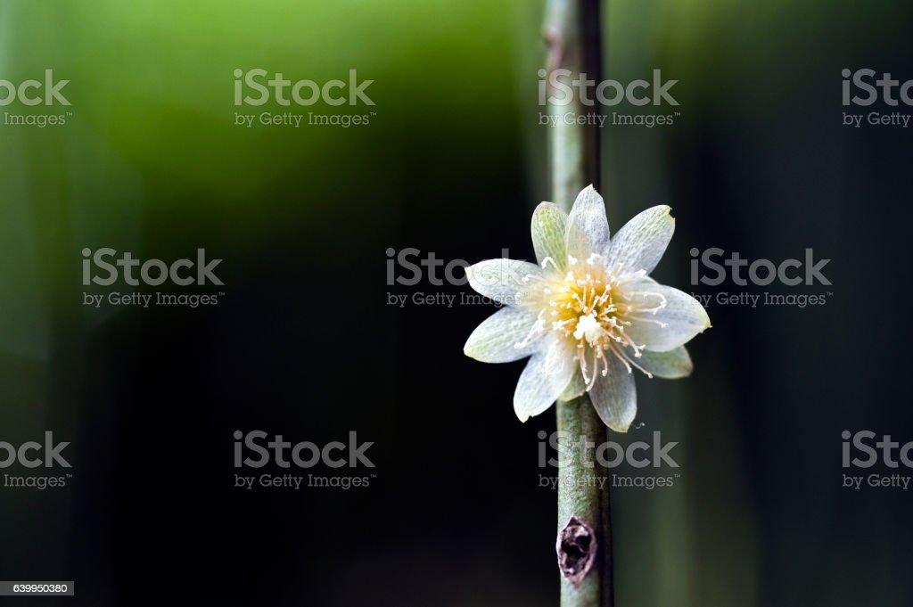 Mistletoe cactus flower, typical of Atlantic Forest trees stock photo