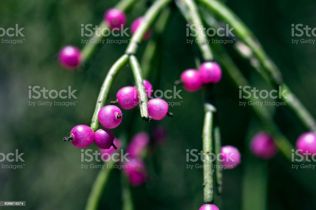 Mistletoe cactus fruit, typical of Atlantic Rainforest trees stock photo
