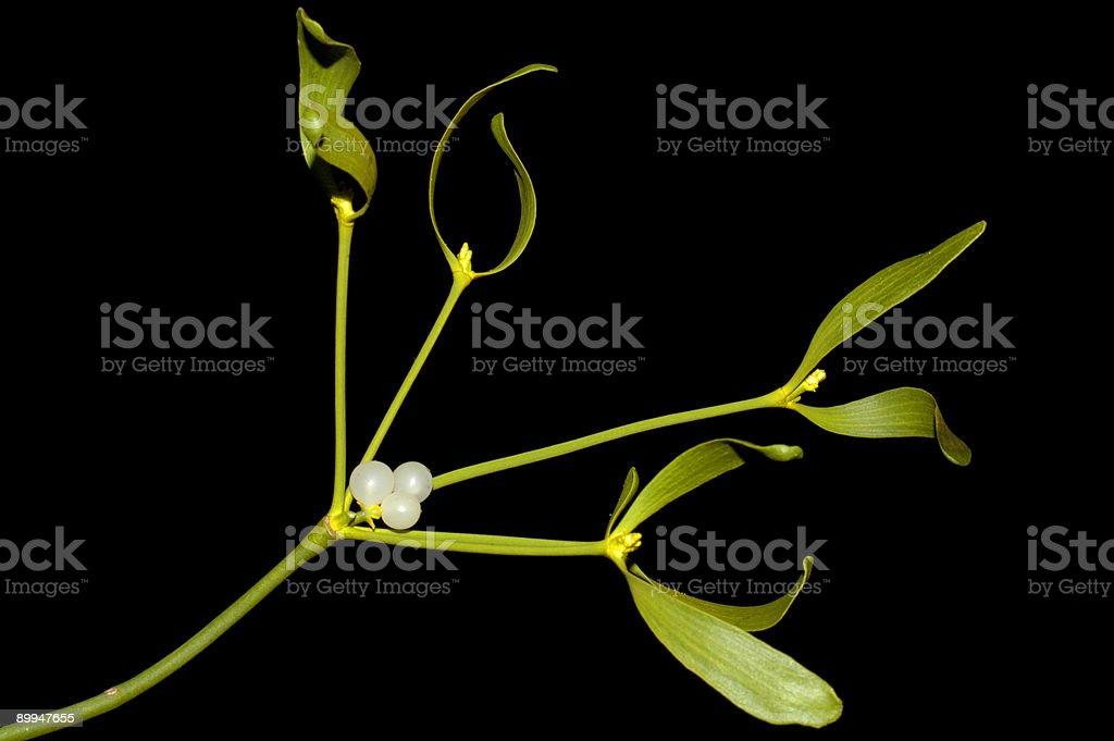 Mistletoe - Close up stock photo