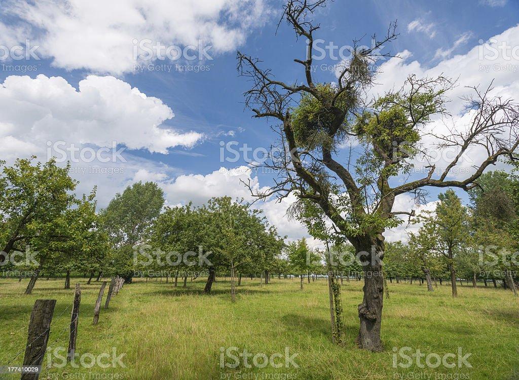Mistletoe in a tree royalty-free stock photo