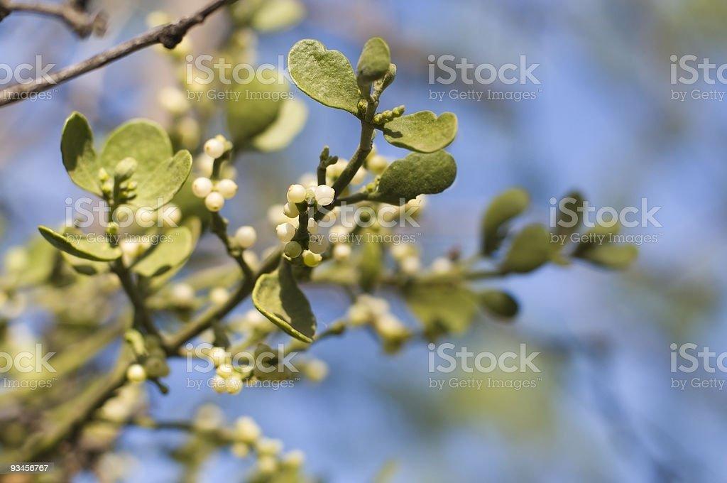 Mistletoe in Nature stock photo