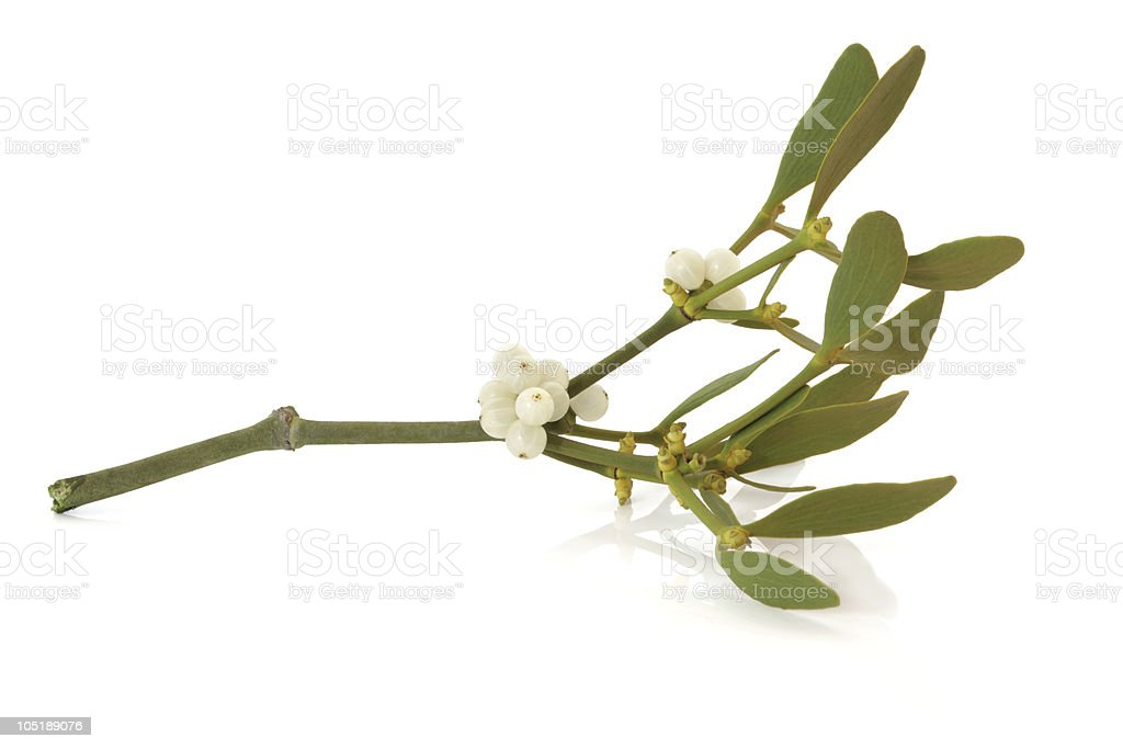 Mistletoe Leaf Sprig with Berries stock photo