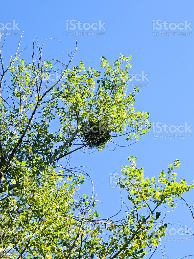 Mistletoe on a tree against blue sky stock photo