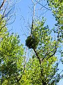 Mistletoe on a tree against blue sky