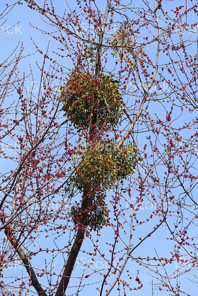 Mistletoe On A Tree royalty-free stock photo