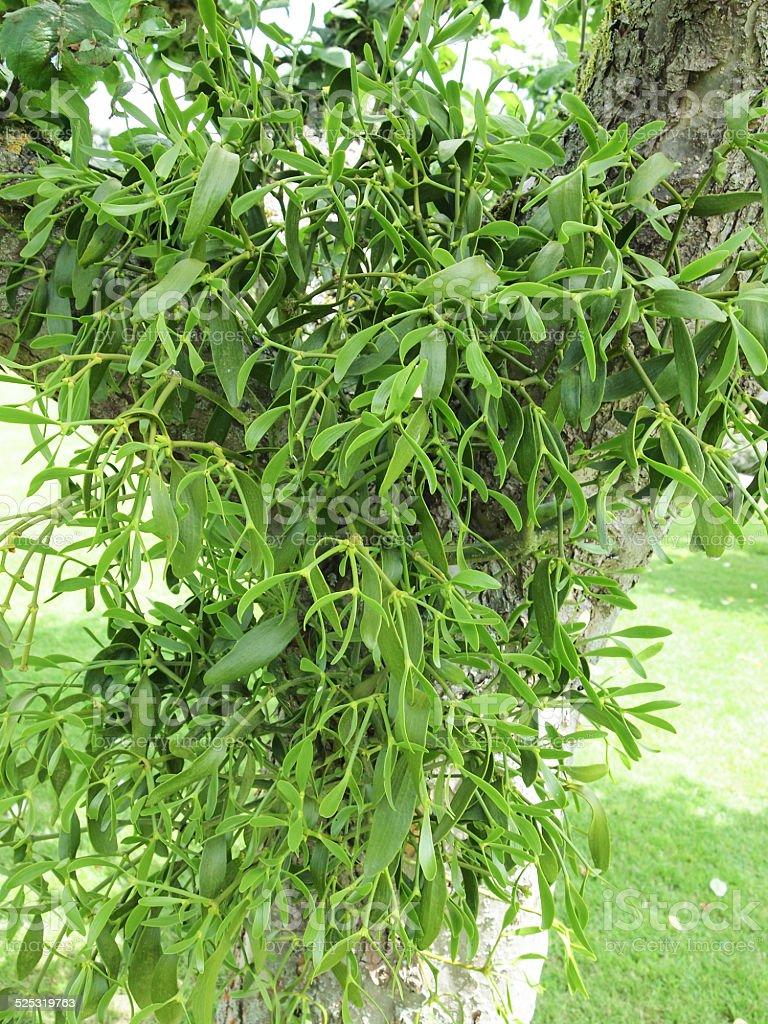 Mistletoe stock photo