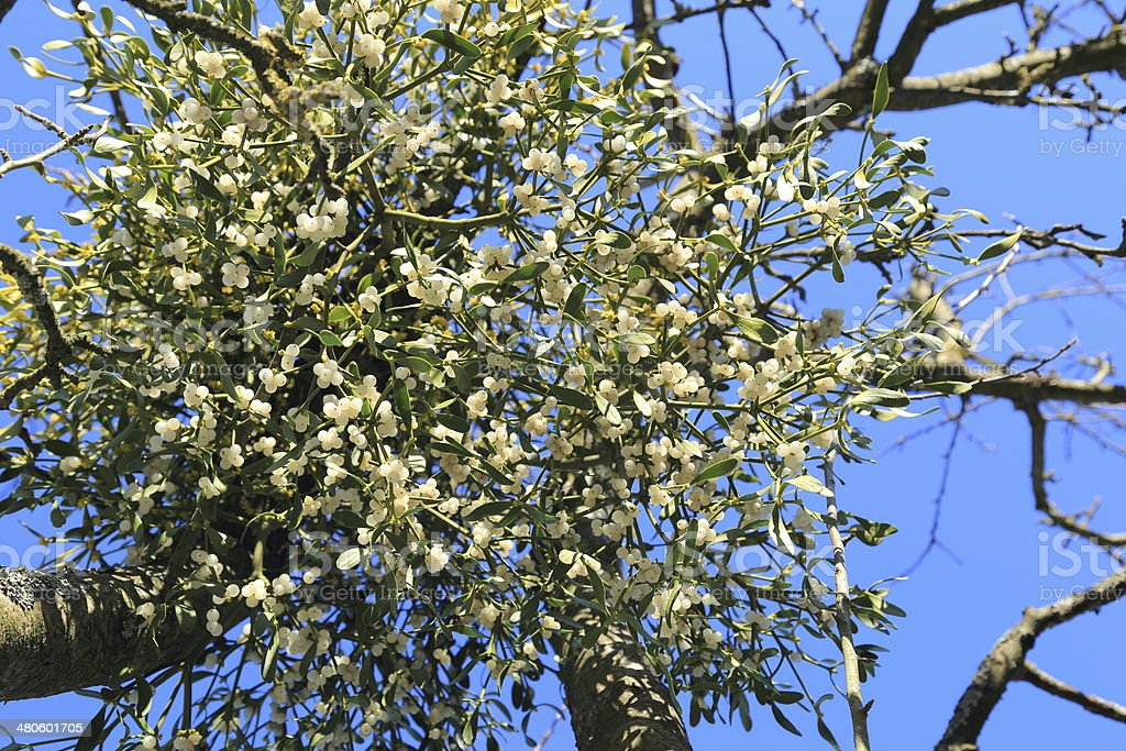 Mistletoe plants - Viscum album stock photo