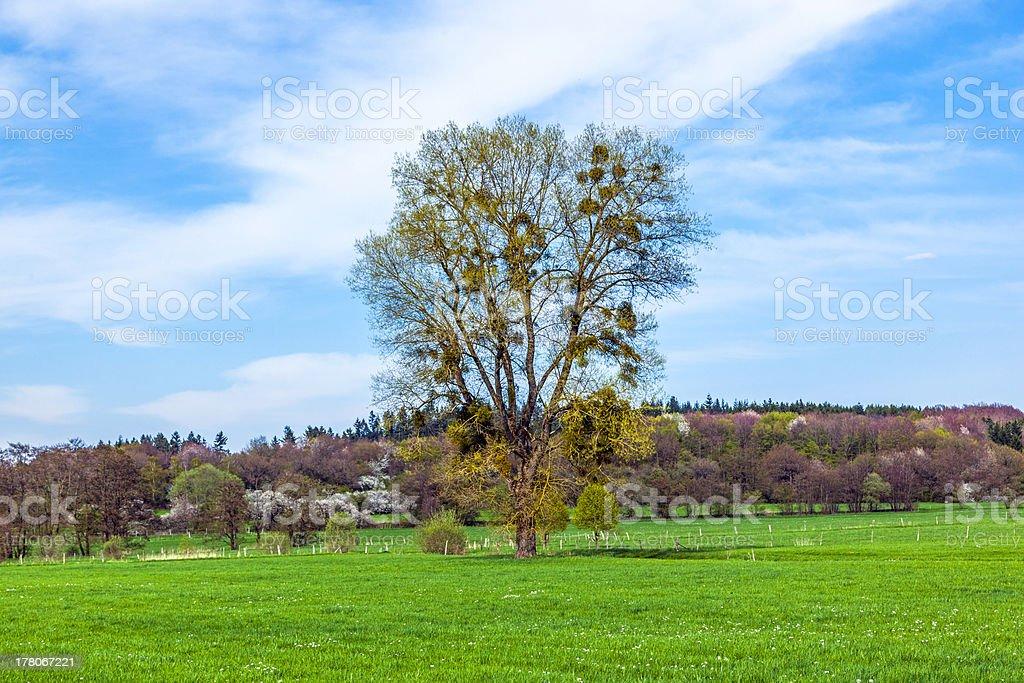 mistletoe tree in green landscape royalty-free stock photo