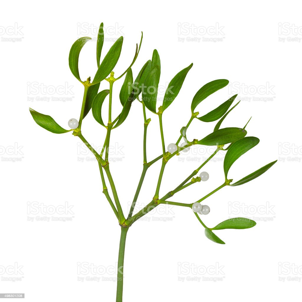 Mistletoe twig with leafs and berries stock photo