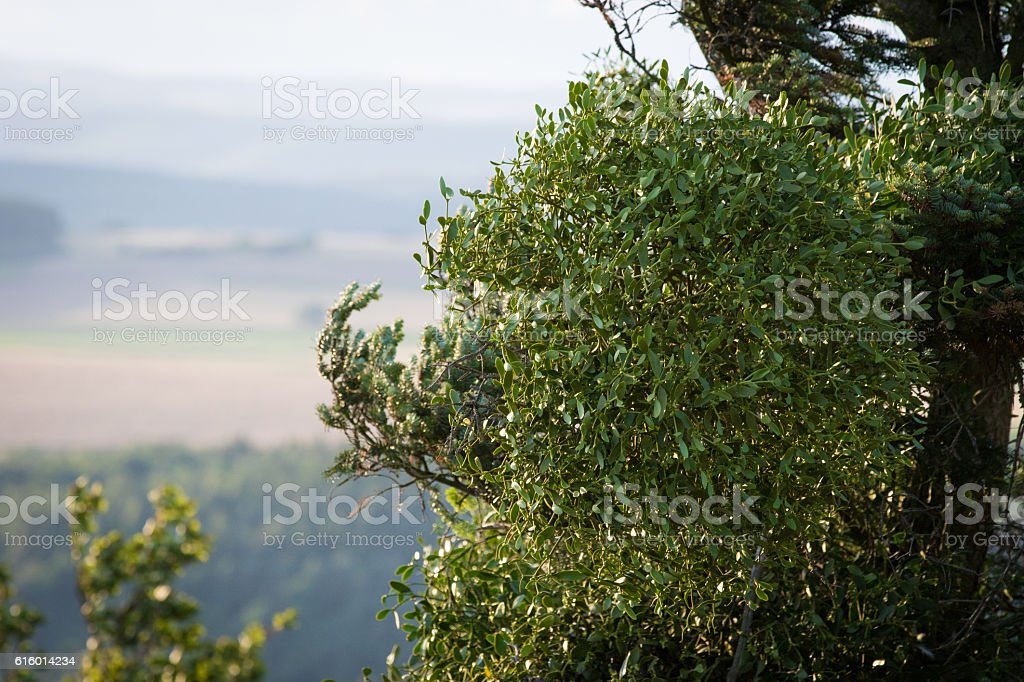 Mistletoe very high up on tree stock photo