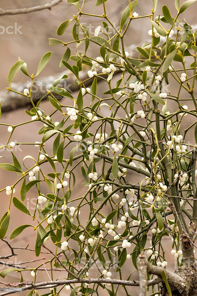 Mistletoe white berries - Viscum album stock photo