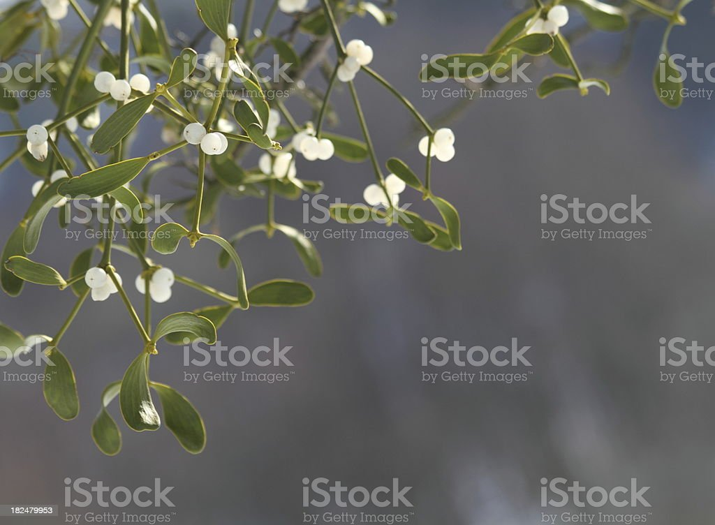 Mistletoe ( Viscum album ) with white berries stock photo