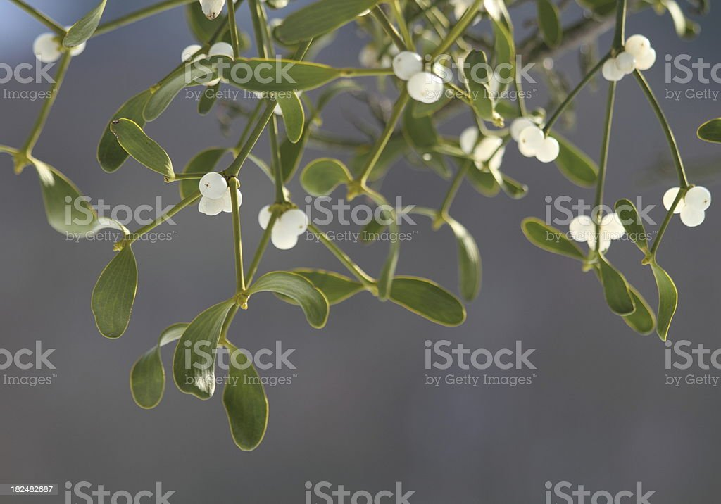 Mistletoe ( Viscum album ) with white berries royalty-free stock photo