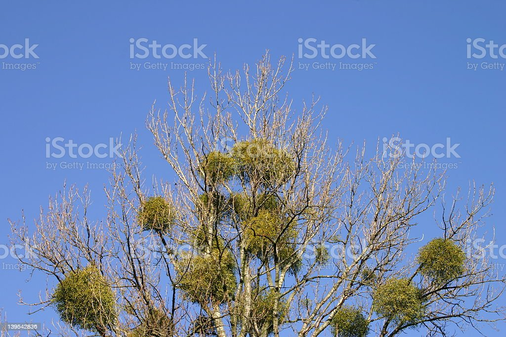 Mistletoes on a tree stock photo
