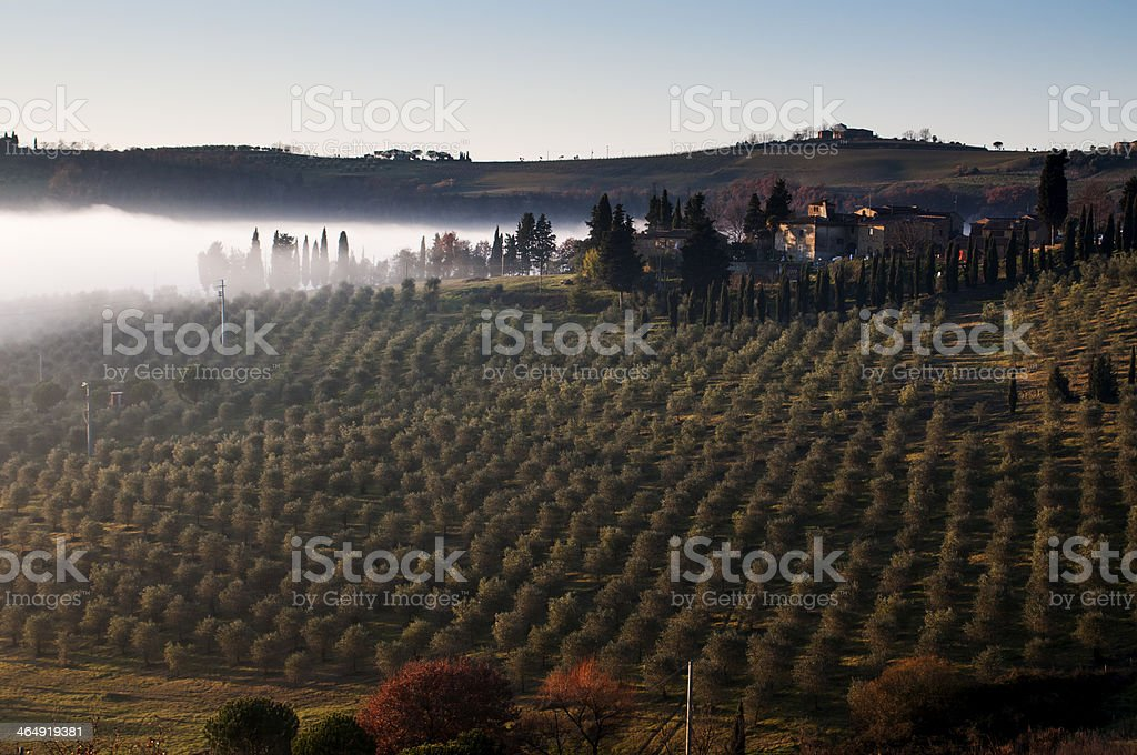 Mists among the olive trees royalty-free stock photo