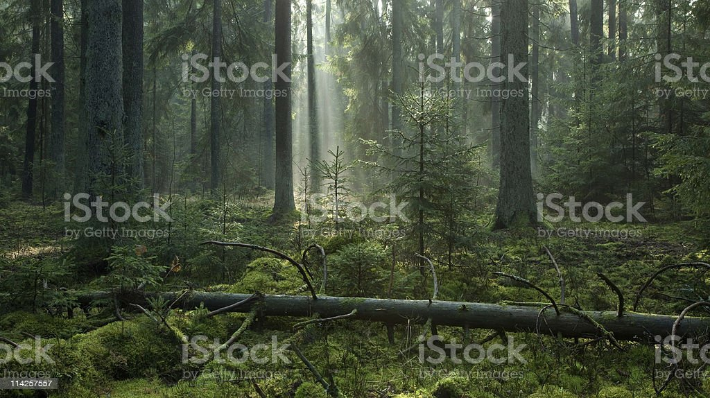 Misty autumn morning in coniferous stand stock photo