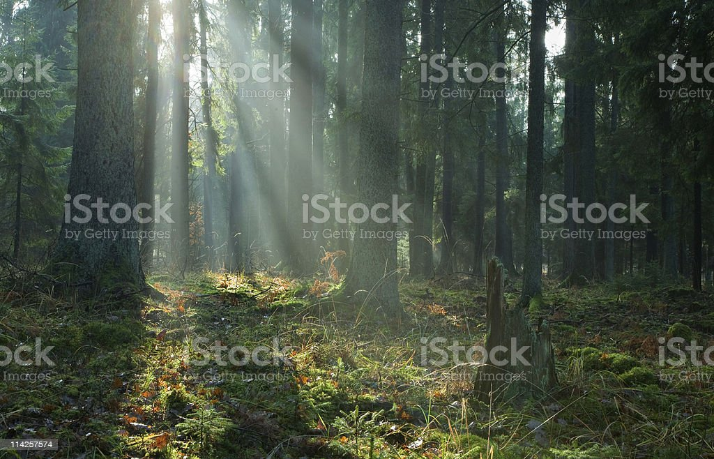 Misty autumnal coniferous stand of Bialowieza Forest at sunrise stock photo