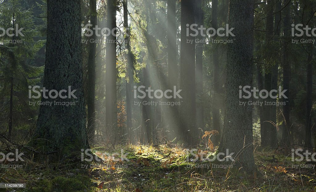 Misty autumnal coniferous stand of Bialowieza Forest at sunrise royalty-free stock photo