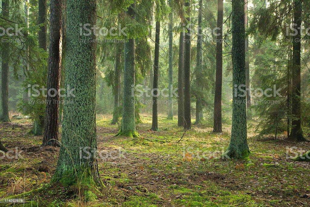 Misty autumnal coniferous stand stock photo