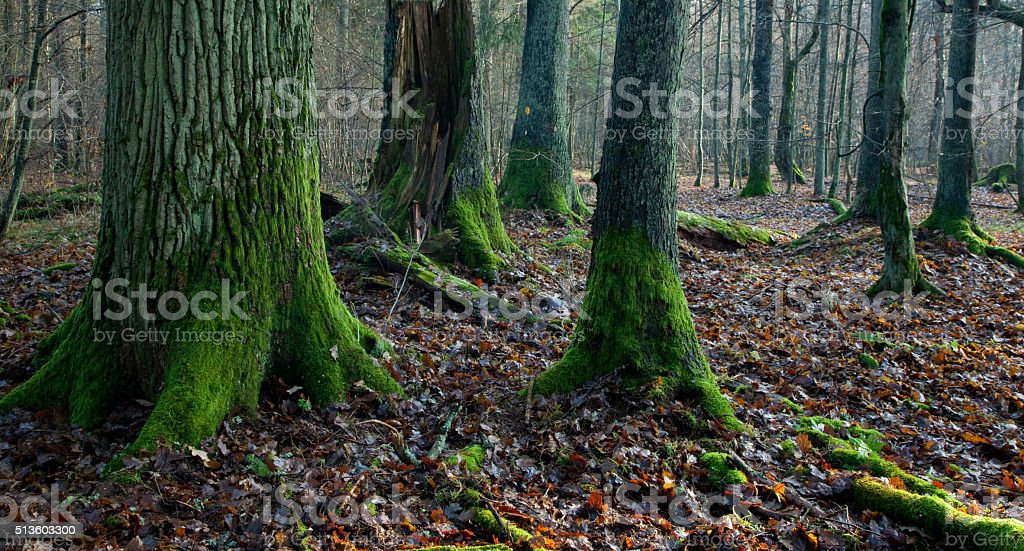 Misty autumnal mixed stand stock photo