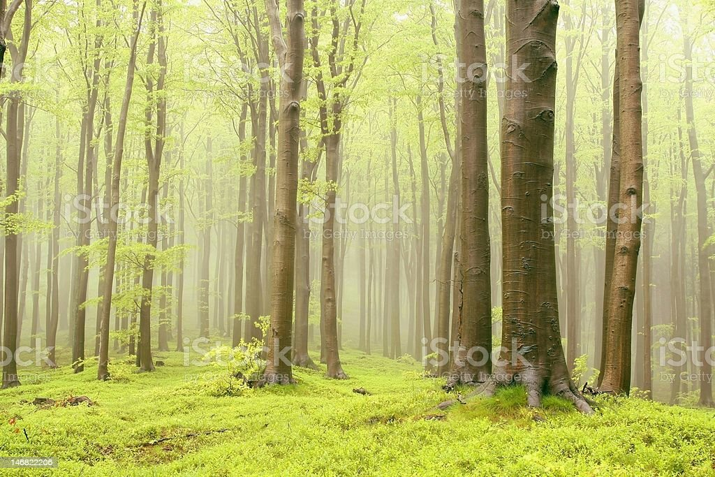 Misty beech forest in a nature reserve royalty-free stock photo