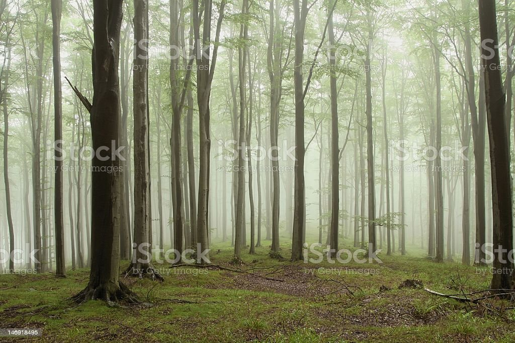 Misty beech forest royalty-free stock photo