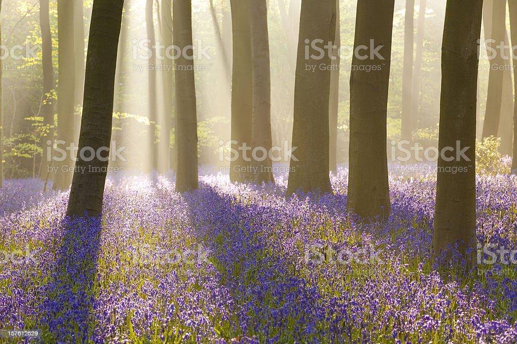 Misty bluebells stock photo