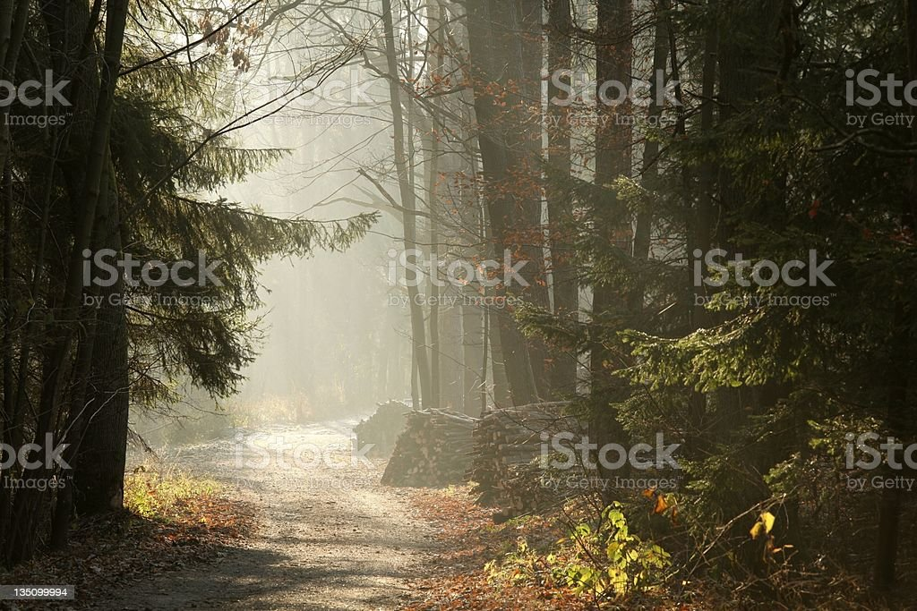 Misty coniferous forest royalty-free stock photo