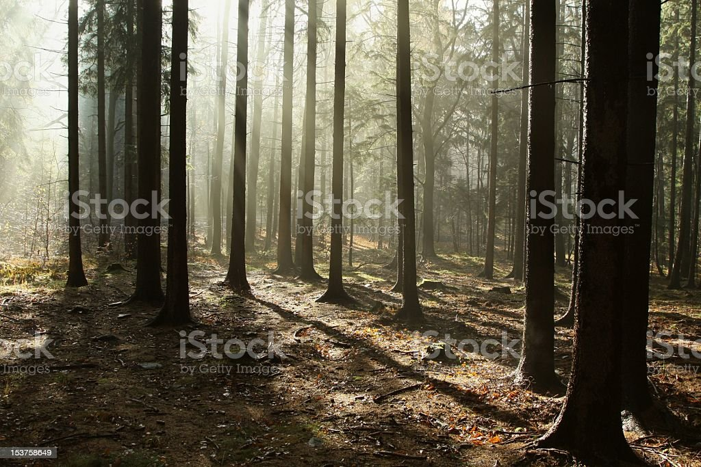 Misty coniferous stand at dawn royalty-free stock photo